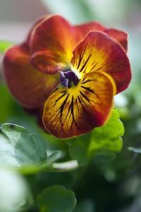 Pansy (Viola X Wittrockiana) by Maria Mosolova