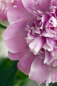 Peony (Paeonia Lactiflora) by Maria Mosolova