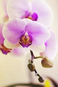 Phalaenopsis Hinamatsuri 'Blushing Bride' by Maria Mosolova
