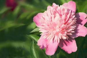 Pink Peony (Paeonia Hybrid) by Maria Mosolova