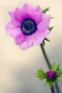 Poppy Anemone (Anemone Coronaria) by Maria Mosolova