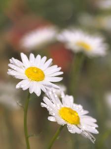 Shasta Daisies (Leucanthemum X Superbum) by Maria Mosolova