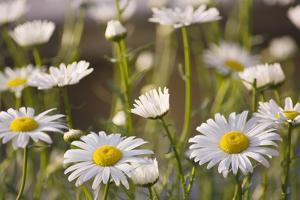 Shasta Daisy (Leucanthemum 'Filigran') by Maria Mosolova