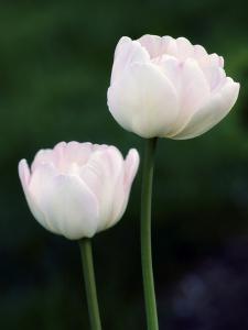 Tulips (Tulipa Hybrid) by Maria Mosolova