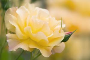 Yellow Rose (Rosa Hybrid) by Maria Mosolova