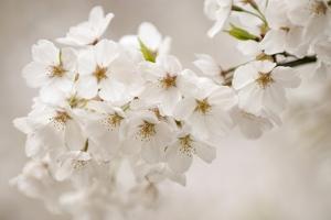 Yoshino Cherry (Prunus X Yedoensis) by Maria Mosolova