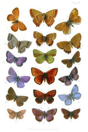 British Butterflies, 1897 by Maria Platt-Evans