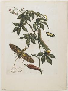 Sphinx Moth, Larva, Pupa, and Flower, 1705-1771 by Maria Sibylla Graff Merian