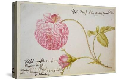 Album Sheet with a Rose, 1675