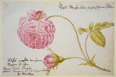 Album Sheet with a Rose, 1675 by Maria Sibylla Merian