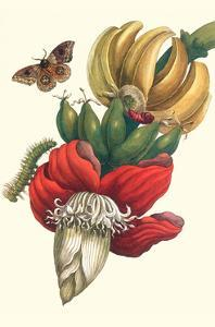 Banana Tree and Moths by Maria Sibylla Merian