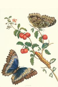 Barbados Cherry Tree with a Moth by Maria Sibylla Merian