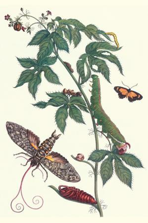 Bellyache Bush with a Giant Sphinx Moth and a Metalmark Butterfly