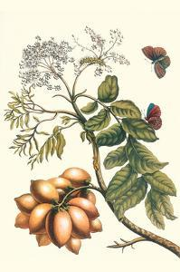Butterfly on a Spanish Plum by Maria Sibylla Merian