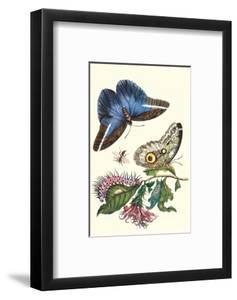 Cardinal's Guard Butterfly with Idomeneus Giant Owl Butterfly by Maria Sibylla Merian