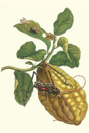Citron with Monkey Slug and a Harlequin Beetle by Maria Sibylla Merian