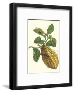 Citron with Monkey Slug and a Harlequin Beetle by Maria Sibylla Merian