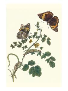 Coffee with Split-Banded Owlet Butterfly by Maria Sibylla Merian