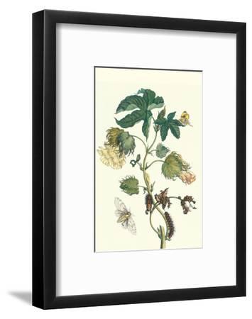 Contton Plant, Moths and Butterflies