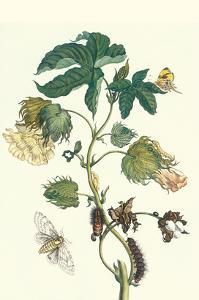 Contton Plant, Moths and Butterflies by Maria Sibylla Merian