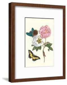 Cotton Rose Mallow with a Queen Swallowtail by Maria Sibylla Merian