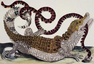 Crocodile and Snake by Maria Sibylla Merian