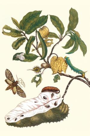 Custard Apple and Flower Moth by Maria Sibylla Merian