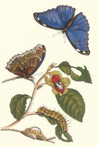 Epiphytic Climbing Plant with a Peleides Blue Morpho Butterfly and a Gulf Fritillary by Maria Sibylla Merian
