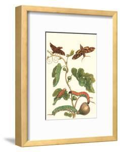 Fig Tree with Fig Sphinx by Maria Sibylla Merian