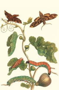 Fig Tree with Fig Sphinx by Maria Sibylla Merian