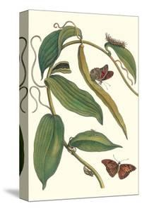 Flat-Leaved Vanila Plant with a Gulf Fritillary by Maria Sibylla Merian