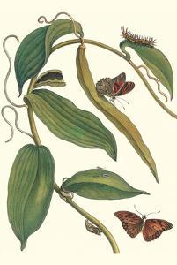 Flat-Leaved Vanila Plant with a Gulf Fritillary by Maria Sibylla Merian