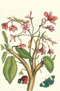 Frangiani and Red Cracker Butterfly by Maria Sibylla Merian