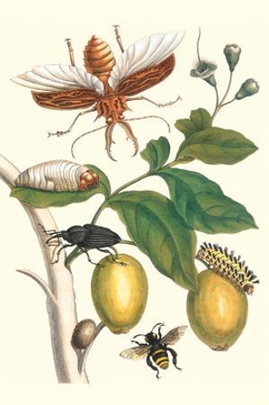 Genip Tree with Palm Weevil, a Long Horned Beetle and an Orchid Bee
