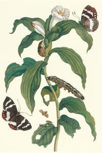 Ginger Plant with a Giant Sugar Cane Borer by Maria Sibylla Merian