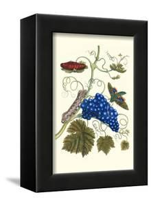 Grapevine with Gaudy Spinx Moth by Maria Sibylla Merian