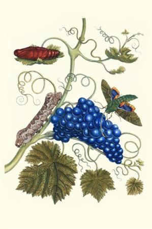 Grapevine with Gaudy Spinx Moth