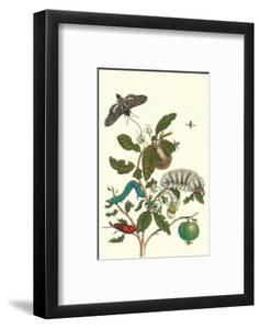 Guava and Tobacco Hornworm and a Podalia Moth by Maria Sibylla Merian