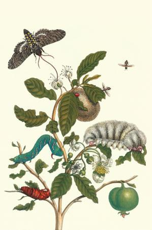 Guava and Tobacco Hornworm and a Podalia Moth