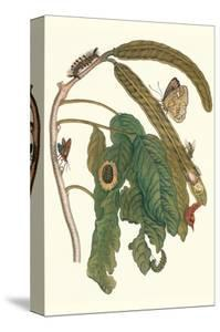 Ice Cream Bean Plant, Cloudless Sulphur Butterfly and Caterpillar with Moth on the Stalk by Maria Sibylla Merian