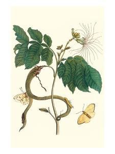 Ice Cream Bean with Apricot Sulphur Butterfly by Maria Sibylla Merian