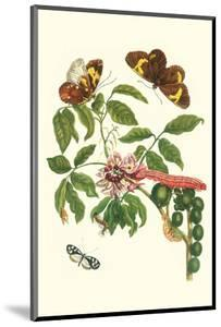 Leguminous Plant with a Sophorae Owl Caterpillar and an Aegle Clearwing Butterfly by Maria Sibylla Merian