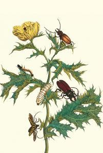 Mexican Prickly Poppy a Longhorned Beetle and an Elateridae Beetle Larva by Maria Sibylla Merian