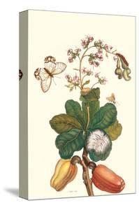 Moth on Cashew Apple by Maria Sibylla Merian