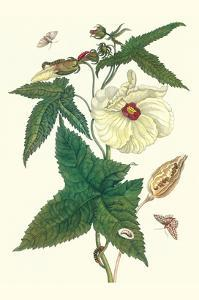 Musk Okra with Tetrio Sphinx by Maria Sibylla Merian