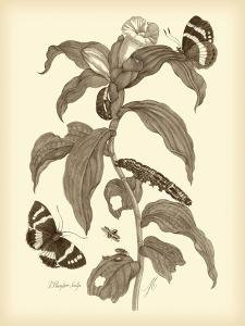 Nature Study in Sepia I by Maria Sibylla Merian