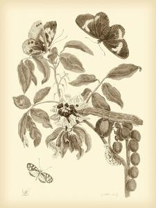 Nature Study in Sepia II by Maria Sibylla Merian