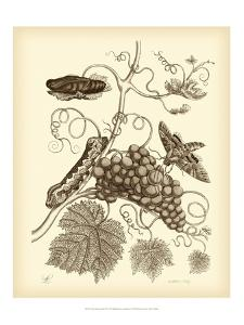Nature Study in Sepia III by Maria Sibylla Merian