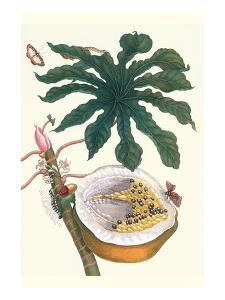 Papaya with Caterpillar, Pupa and Butterfly of the Metalmark Family and a Moth on the Fruit by Maria Sibylla Merian