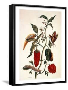 Pepper Plant by Maria Sibylla Merian